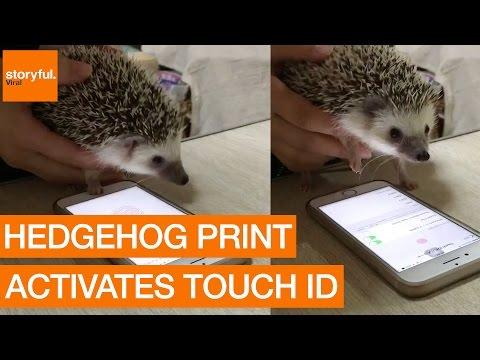 "<p>The iPhone's Touch ID is commonly used for human fingerprints, but this Japanese user discovered that it's also effective for animals. Her pet hedgehog may not have fingers, but his paw print proved distinguishable enough for Touch ID to accept it.</p><p>Now, the hedgehog's owner must be careful not to let him go missing! The <a href=""https://twitter.com/ha_ri_ay/status/802118243158589440"" target=""_blank"">video</a> of her hedgehog trying out Touch ID has now been retweeted over 15,000 times. Credit: Twitter/ha_ri_ay via Storyful</p>"