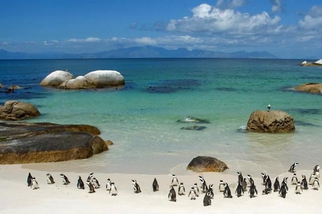 Boulder's Beach. Photo: Flickr - There is a penguin colony on nearby Foxy Beach, but the penguins see no need to restrict themselves and frequently hop over to Boulder's Beach. They will swim with you, sit next to you on the beach and run all around you while you're walking.