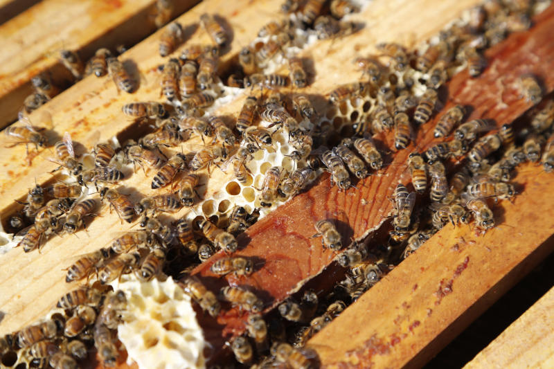In this July 11, 2019 photo, a swarm of bees is seen at the Henry Ford farm in Superior Township, Mich. A beekeeping program, Heroes to Hives, taught at Michigan State University Extension provides military veterans with a nine-month beekeeping course free of charge. (AP Photo/Carlos Osorio)