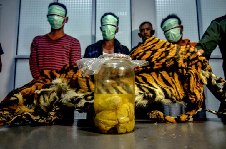 The suspected poachers may have been planning to sell the tiger skin to a foreign collector, authorities said (AFP Photo/Wahyudi)