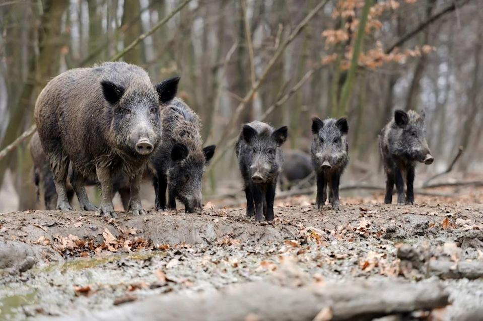 """While you might not spot a lot of wild pigs roaming around your particular neighborhood, they still cause quite a problem. According to The Public Library of Science, <strong>Gail Keirn</strong>, a public affairs specialist at the USDA-APHIS-WS National Wildlife Research Center, estimated that there are between 5 and <a href=""""https://blogs.plos.org/ecology/2017/02/01/invasive-wild-pigs-leave-a-swath-of-destruction-across-u-s-and-they-keep-spreading/"""" rel=""""nofollow noopener"""" target=""""_blank"""" data-ylk=""""slk:6 million invasive swine"""" class=""""link rapid-noclick-resp"""">6 million invasive swine</a> in at least 35 states. These problematic hogs cost the country well over a billion dollars every year to control and deal with the damage they've done."""