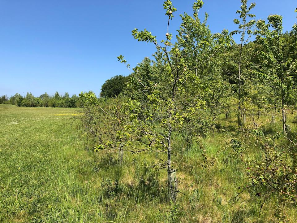Young trees in newly created woodland