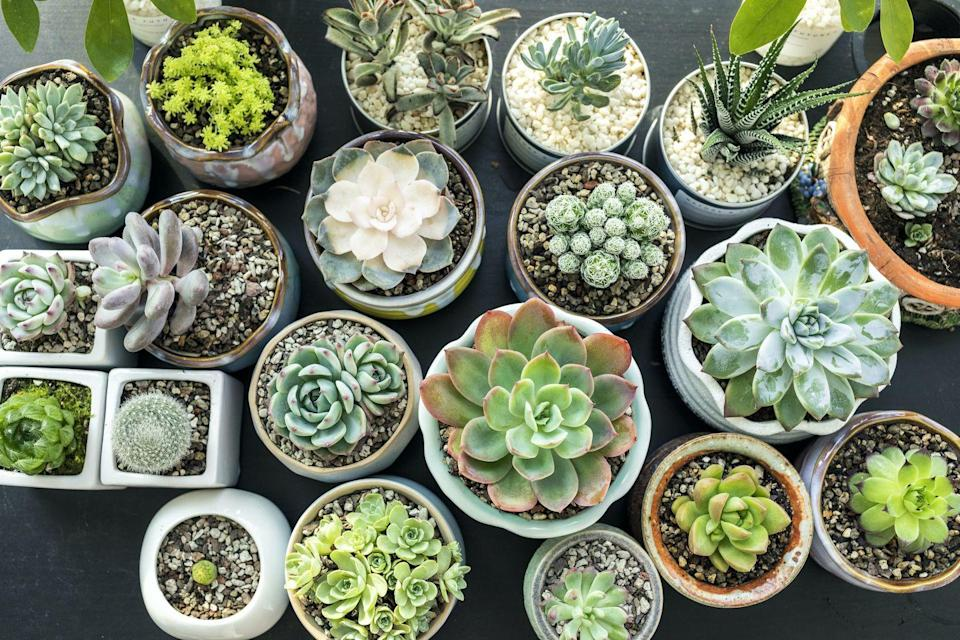 """<p>'You don't need to have an outdoor space to get into gardening,' add Squire's Garden Centres. 'Many plants can be grown indoors. All you need are some pots and compost, a sunny windowsill and occasional watering.'</p><p><a class=""""link rapid-noclick-resp"""" href=""""https://www.gardeningexpress.co.uk/sempervivum-houseleeks-pack-of-ten-evergreen-hardy-succulent-plants"""" rel=""""nofollow noopener"""" target=""""_blank"""" data-ylk=""""slk:BUY NOW VIA GARDENING EXPRESS"""">BUY NOW VIA GARDENING EXPRESS</a></p>"""