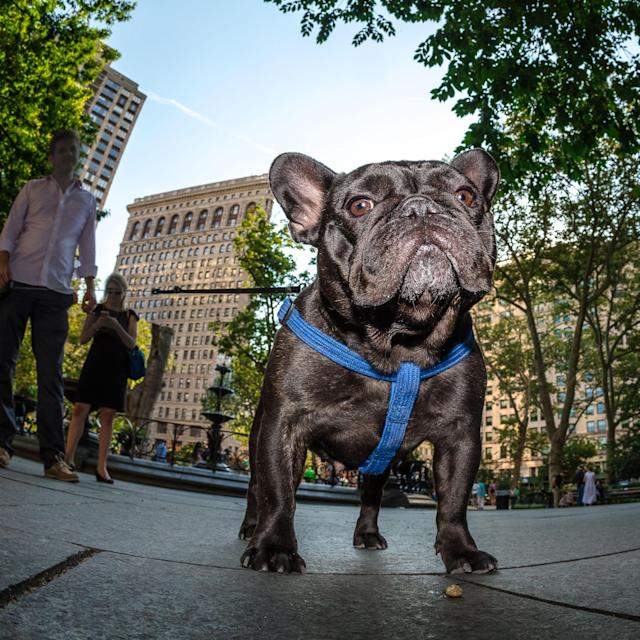 <p>Violet does her best Donald Trump impersonation in Madison Square Park, across from the triangular Flatiron building. (Photo: Mark McQueen/Caters News) </p>