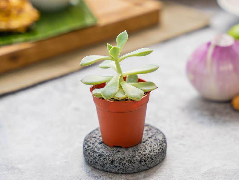 A pot of succulent that comes with Blue Jasmine's Mother's Day 2021 Set Menu