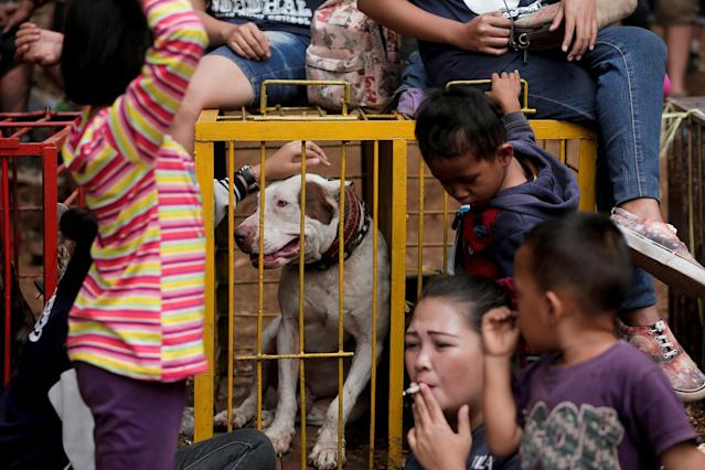 "<p>Dog breeder Agus Badud's family sit near the cage of their dog during a fight contest between dogs and captured wild boars, known locally as 'adu bagong' (boar fighting), in Cikawao village of Majalaya, West Java province, Indonesia, Sept. 24, 2017. ""I take part in this contest to increase the selling price and economic value of my dogs, and it would be useless for me as a breeder if I did not participate in a contest like this,"" Badud said in his house where he keeps 40 dogs. Sept. 24, 2017. (Photo: Beawiharta/Reuters) </p>"