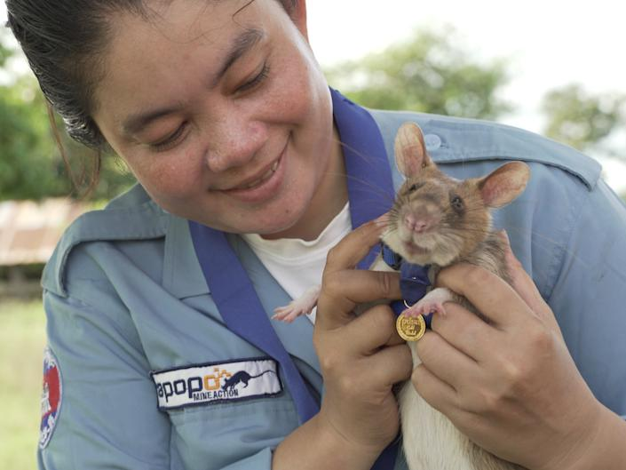Magawa, a landmine detection rat, receives a miniature PDSA Gold Medal for his work detecting landmines and unexploded ordnance in CambodiaPDSA/APOPO