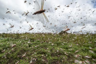 Swarms of desert locusts fly into the air from crops in Katitika village in Kenya's Kitui county on Jan. 24, 2020. In the worst outbreak in a quarter-century, hundreds of millions of the insects swarmed into Kenya from Somalia and Ethiopia, destroying farmland and threatening an already vulnerable region. (AP Photo/Ben Curtis)
