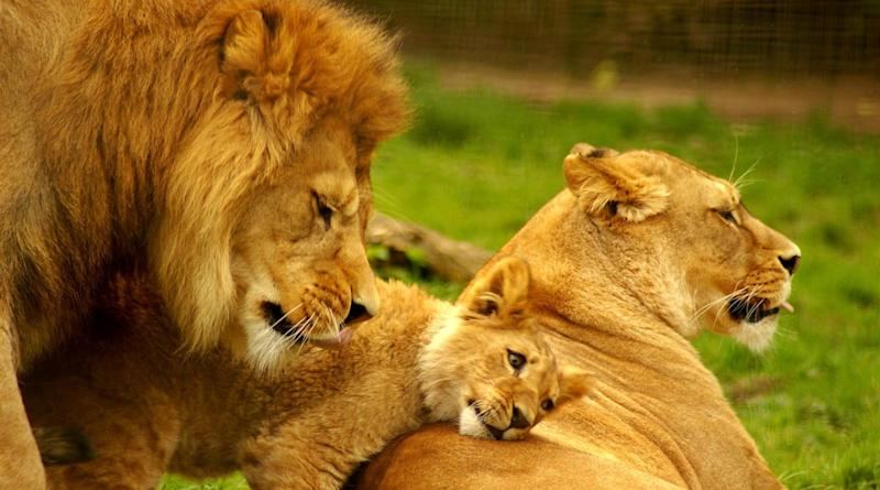 Chennai Super Kings Share Adorable Lion Family Picture With Felida Leone and Duraisimba on World Lion Day 2020 (View Post)