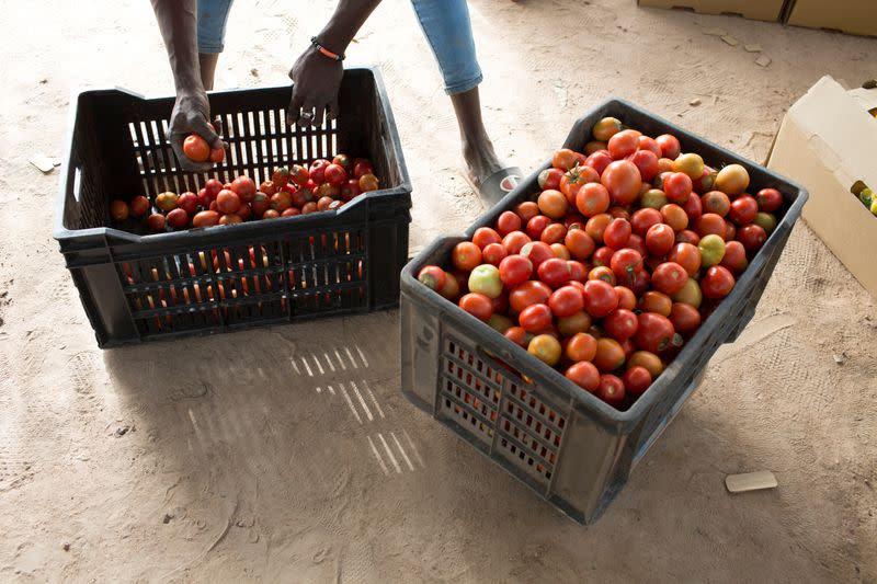 Seydou Sogoba prepares to weigh crates of tomatoes before they are sent to the market in Katibougou