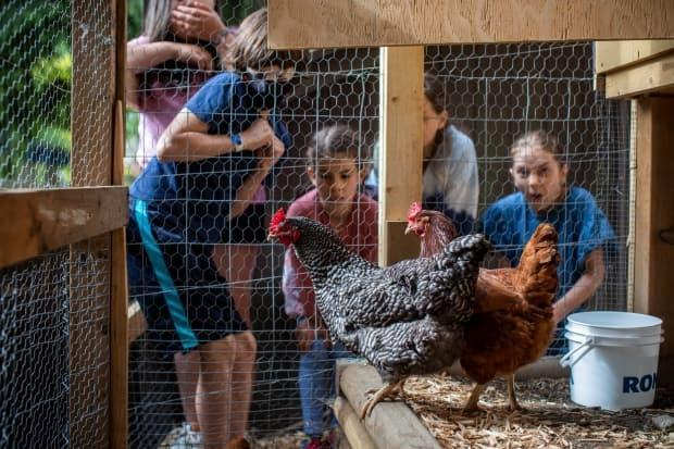 Children from the Vancouver Waldorf School introduce new chickens on Thursday to a coop they built in their North Vancouver schoolyard. (Ben Nelms/CBC - image credit)