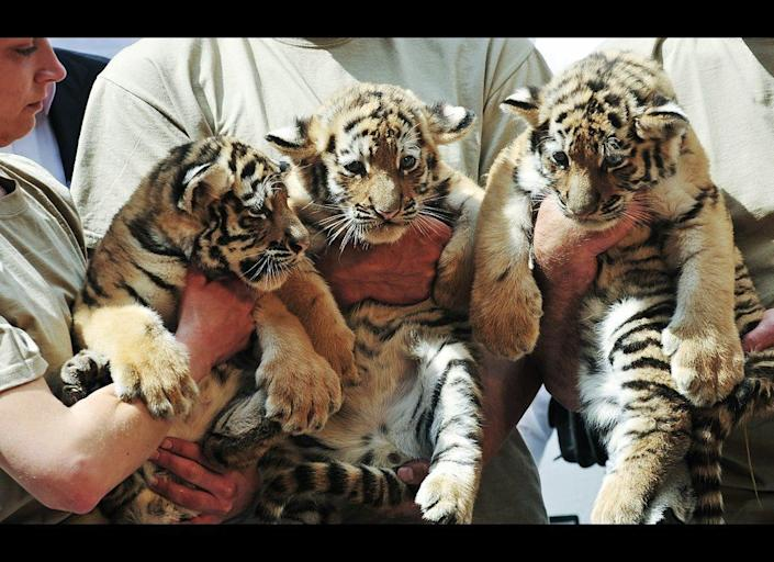 Zoo keepers hold three newborn Siberian tigers, Virgil, Thrax and Manu, at the Budapest Zoo and Botanic Garden in the Hungarian capital on July 4, 2011. The eight-week-old tigers were presented to the press for the first time with their health checkup and ID chips implanted by the chief doctor of the zoo.