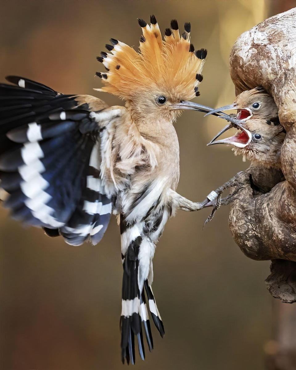 <p>The exotic-looking hoopoe bird (Upupa epops) flaunts black and white stripes with a flamboyant fan-shaped crest it elevates when excited. Winging its way to Europe from Africa, it's often spotted in the South West during spring and autumn migrations as it stops off on route to warmer climes. Once there, the female lays her eggs deep within a tree cavity before taking the smart step of covering them in a smelly antibacterial secretion that repels predators. </p>