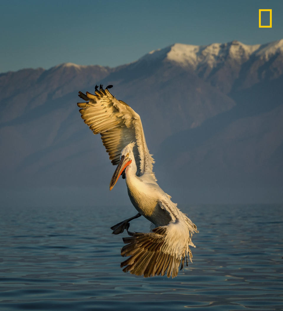 <p>A bird changes direction in mid-air as it flies over Lake Kekini, Greece. (Ruzdi Ekenheim/National Geographic Nature Photographer of the Year contest) </p>