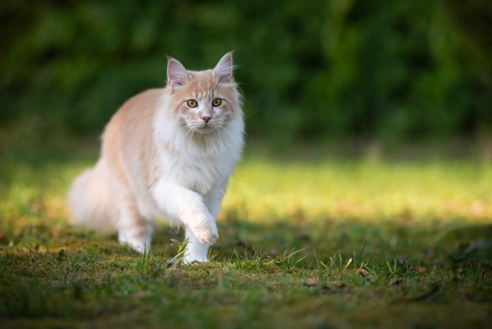 orange and white cat walking in the grass