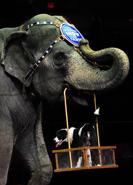 A Ringling Bros. and Barnum & Bailey circus elephant and dog perform in New York on March 26, 2010 (AFP Photo/Emmanuel Dunand)