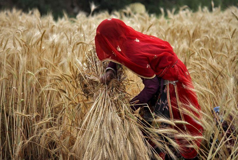 India to harvest record rice, wheat crops