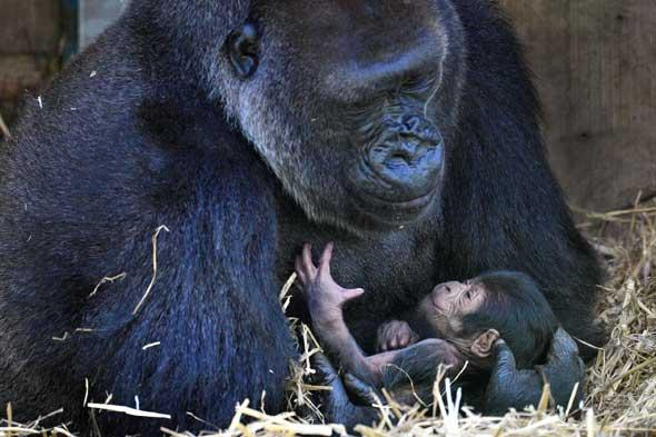 Mother and baby gorilla in Bristol Zoo
