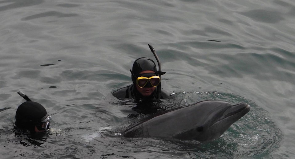 Divers wade towards a wild dolphin which will be sold to a marine park to perform for tourists. Source: Dolphin Project