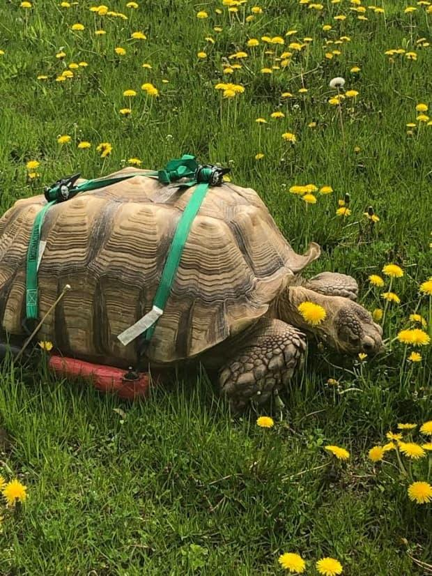 Sherman, a 24-year-old African sulcata tortoise, lives at the Magnetic Hill Zoo in Moncton. (CBC News - image credit)