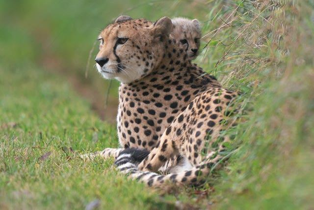 An 8-week-old cheetah cub, the first cub born at the park in ten years, explores her enclosure for the first time with her mother Kilima at Africa Alive in Suffolk. Picture date: Sunday October 3, 2021