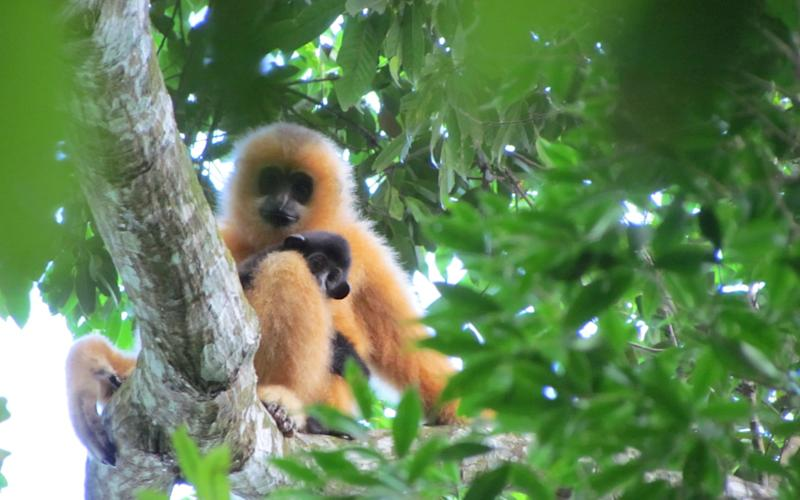 The remains of a new species of gibbon (not pictured) has been found buried in anancient Chinese imperial tomb - Jessica Bryant/ZSL