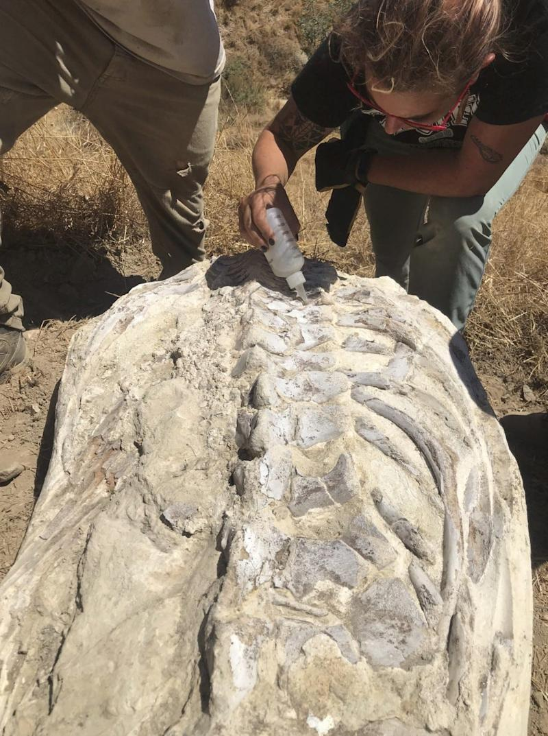 A 600-pound stone block encasing a 15-million-year-old fossil was found on a private road in Simi Valley following July's Ridgrecrest earthquakes. Experts believe the fossil may be a small whale. Shown is Occidental College's Win McLaughlin.