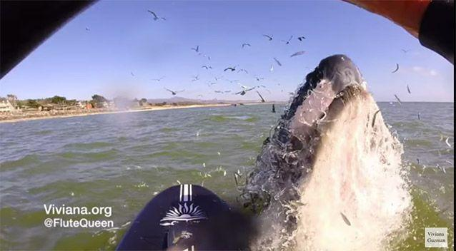 The large whale leaps into the air, inches from Viviana's board. Picture: YouTube/Viviana Guzman