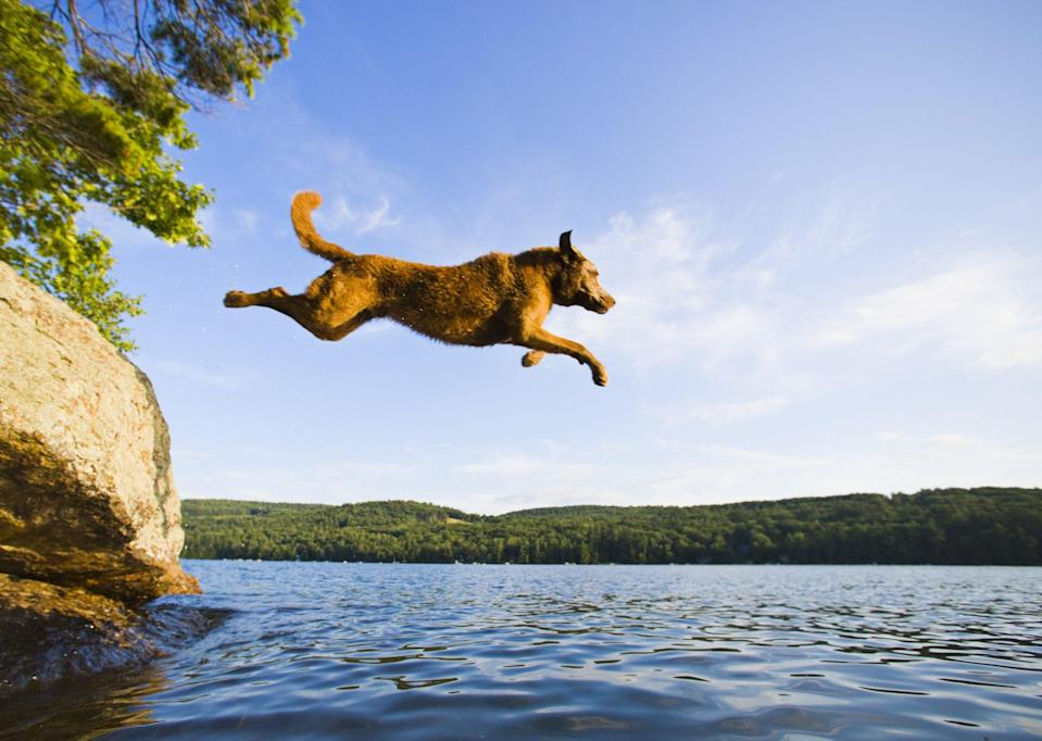 """<p>The first official state dog was recognized as the <a href=""""https://www.dailypaws.com/dogs-puppies/dog-breeds/chesapeake-bay-retriever"""" rel=""""nofollow noopener"""" target=""""_blank"""" data-ylk=""""slk:Chesapeake Bay Retriever"""" class=""""link rapid-noclick-resp"""">Chesapeake Bay Retriever</a> in Maryland. Born to retrieve the waterfowl for hunters in the region, this dog earned its recognition in 1964. It's the only American-bred retriever—hunting, hiking, or splashing around in the cold water of its namesake.</p>"""