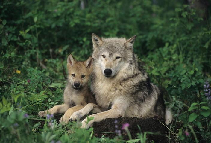 Gray Wolf (Canis lupus) mother with her pup in the Rocky Mountains of Montana. Captive Animal