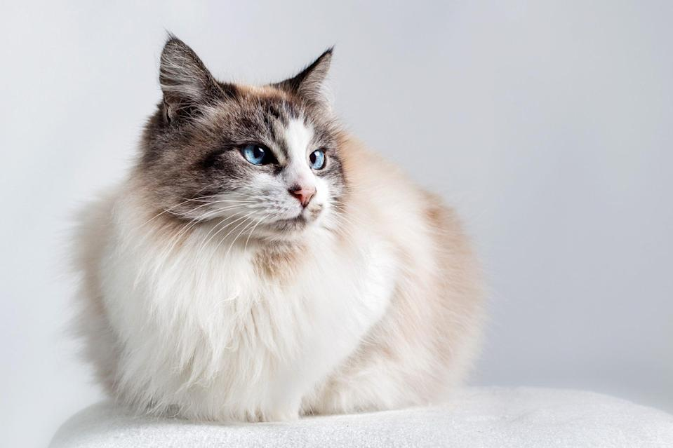 "<p>If you love a lap dog, <a href=""https://www.dailypaws.com/cats-kittens/cat-breeds/ragdoll"" rel=""nofollow noopener"" target=""_blank"" data-ylk=""slk:Ragdolls"" class=""link rapid-noclick-resp"">Ragdolls</a> are your perfect match. They're most likely to greet you at the door when you come home from home. These cats also enjoy cuddle sessions and play time.</p>"