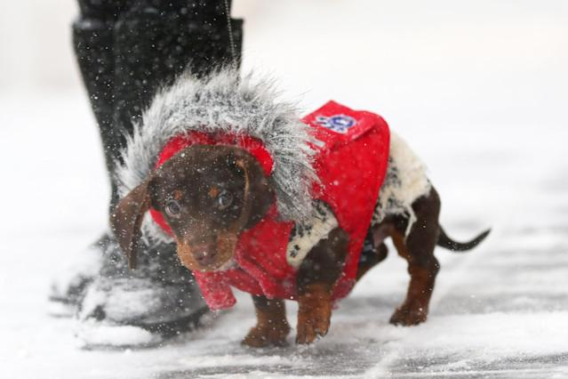 <p>Cash the mini dachshund walks down Newbury Street during a massive winter storm on Jan. 4, 2018 in Boston, Mass. (Photo: Maddie Meyer/Getty Images) </p>