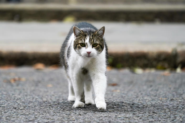 Larry the cat, the Chief Mouser to the Cabinet Office, walks outside 10 Downing Street, in London, Wednesday, Sept. 15, 2021. (AP Photo/Alberto Pezzali)