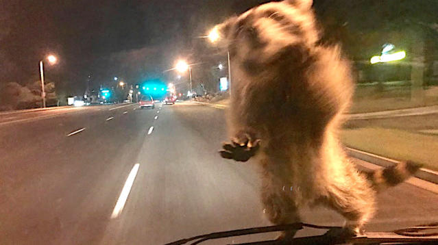 A cheeky raccoon stole a ride on a moving police car in Colorado on Wednesday night.