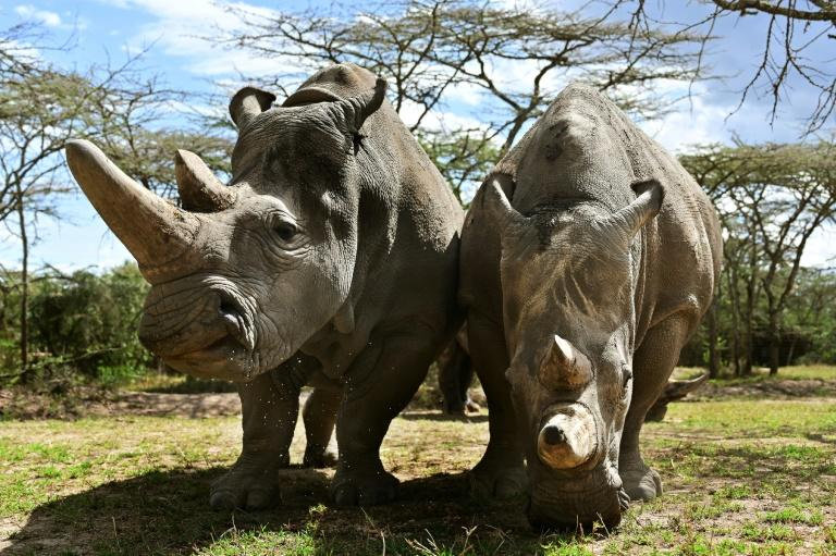 Najin and daughter Fatu are the only surviving northern white rhinos and live under 24-hour armed guard