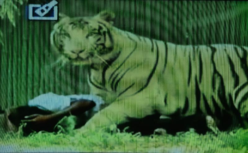 A television frame grab from Indian news channel Headlines Today shows a white tiger on top of a youth at the Delhi Zoo in New Delhi on September 23, 2014 (AFP Photo/--)
