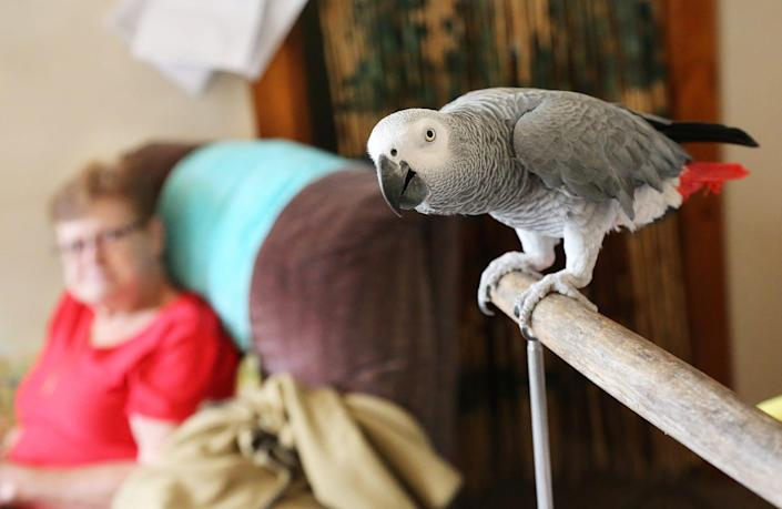 Dover resident Mary Cameron is seeking a new apartment that will accept her Housing Choice Voucher as payment and also accept her support animal Hailey, a 30-year-old grey parrot that has been her companion for 26 years.