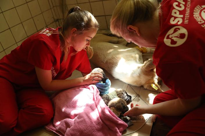 <p>Nastya Grabchuk, left, a Ukrainian medical student volunteering with the Dogs of Chernobyl initiative, and Meredith Ayan, executive director of SPCA International, a U.S.-based animal rescue nonprofit, tend to stray puppies recovering from a sedative after surgery and vaccinations at a makeshift veterinary clinic inside the Chernobyl exclusion zone on Aug. 17, 2017, in Chernobyl, Ukraine. (Photo: Sean Gallup/Getty Images) </p>