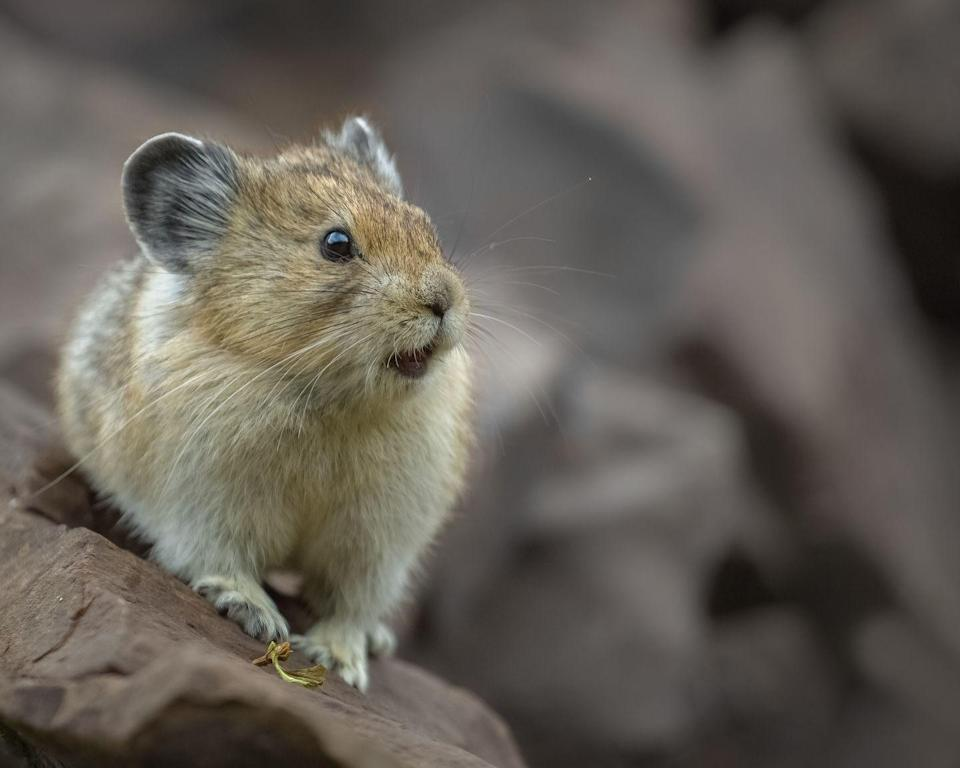 """<p>Don't let that adorable little face fool you! According to the National Wildlife Foundation, this is<a href=""""https://www.nwf.org/Educational-Resources/Wildlife-Guide/Mammals/American-Pika"""" rel=""""nofollow noopener"""" target=""""_blank"""" data-ylk=""""slk:one of the toughest animals in North America"""" class=""""link rapid-noclick-resp""""> one of the toughest animals in North America</a>. These rodent like mammals grow to about seven or eight inches and survive in a challenging alpine terrain. </p>"""
