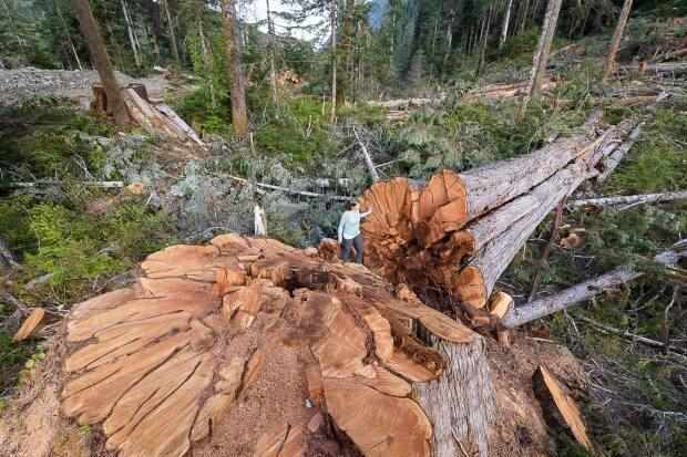 Conservationists with the Ancient Forest Alliance say old-growth forests like this one are crucial to the overall health of ecosystems. (Submitted by TJ Watt - image credit)