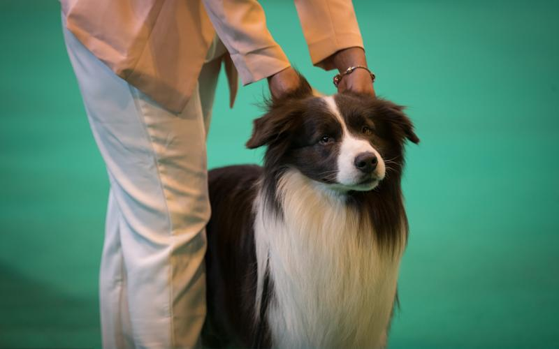 A border collie is judge on the final day of the Crufts Dog Show at the NEC Arena on March 12, 2017 - Credit:  Getty Images