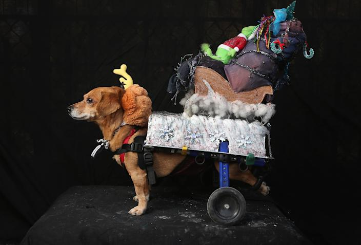 """Oscar, a rescued Chihuahua-mix wheelchair dog, poses as Max from """"The Grinch Who Stole Christmas"""" at the Tompkins Square Halloween Dog Parade. (Photo by John Moore/Getty Images)"""