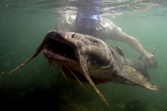 The goonch, a large, predatory catfish, occurs throughout much of Asia, especially in rapids areas of Himalayan rivers.