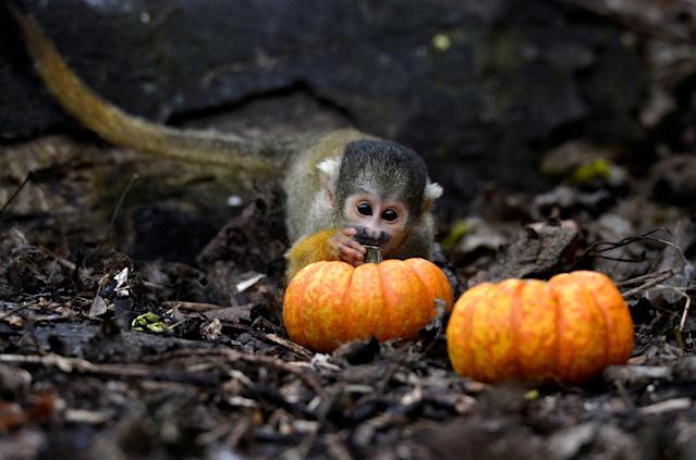<p>A squirrel monkey plays with a small pumpkin at a Halloween event at ZSL London Zoo, London, Britain, Oct. 26, 2017. (Photo: Mary Turner/Reuters) </p>