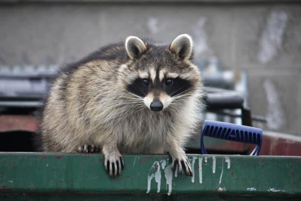 TorontoPublic Health saw a 62 per cent increase in reportsofpeople bitten or scratched by raccoonsbetween January 2020 and February 2021, compared to the average in the previous two years. (jennyt / Shutterstock - image credit)