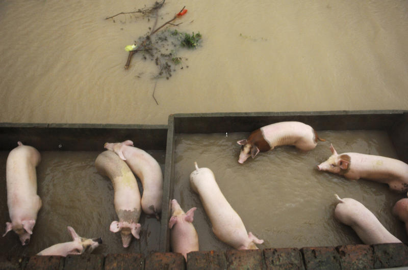 In this photo released by China's Xinhua News Agency, pigs stay in flooded hogpens in Hepu Town of Xiangshan County, east China's Zhejiang Province, Wednesday, Aug. 8, 2012. Typhoon Haikui slammed into eastern Zhejiang province early Wednesday, packing winds up to 150 kilometers (90 miles) per hour and triggering flooding. (AP Photo/Xinhua, Cui Xinyu) NO SALES