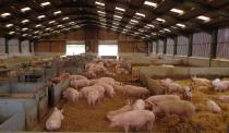 A group of breeding sows are pictured inside a barn on a family pig farm near Driffield