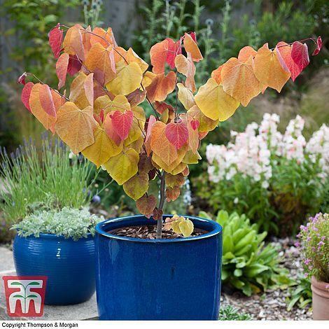 """<p>This most recent winner features heart-shaped leaves and charming, rose-tinted Autumnal shades. A fitting emblem of the first September Chelsea event. </p><p><a class=""""link rapid-noclick-resp"""" href=""""https://www.thompson-morgan.com/p/cercis-eternal-flame/WKB9867TM"""" rel=""""nofollow noopener"""" target=""""_blank"""" data-ylk=""""slk:BUY NOW"""">BUY NOW</a> <strong>from £44.99, Thompson Morgan </strong></p>"""