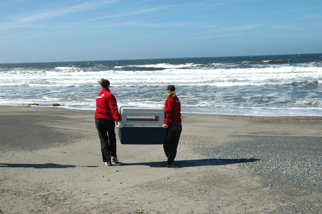 Seals are carried to be released. Vancouver Aquarium photo