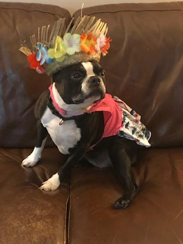 """It's called fashion Brenda, look it up."" Maggie the 9-year-old Boston Terrier gets 11/10 for style points."